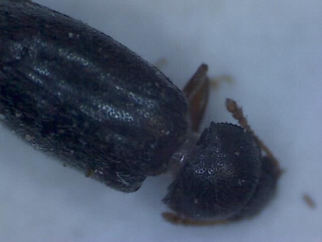Telmatophilus typhae 5